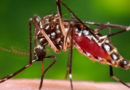 Tongan Mosquito Leaves Resident of Wellington Region with Likely Zika